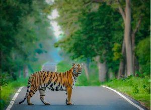 Tiger BF on Road