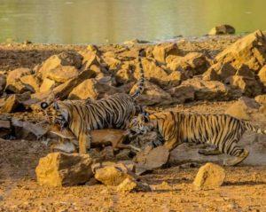 Tiger Kill BF